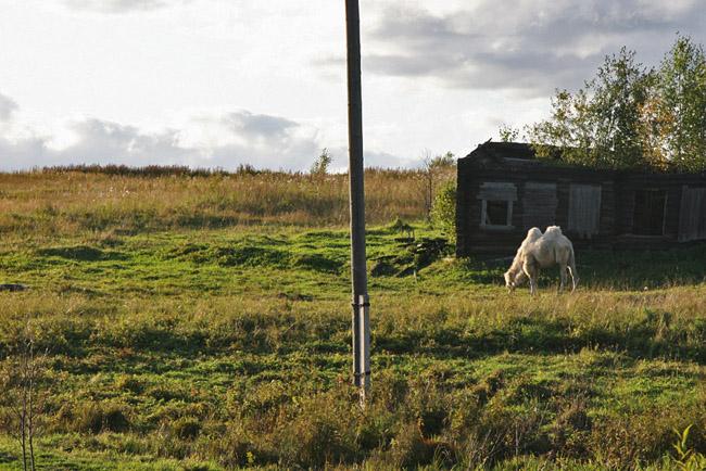 Верблюд в Сыктывкаре