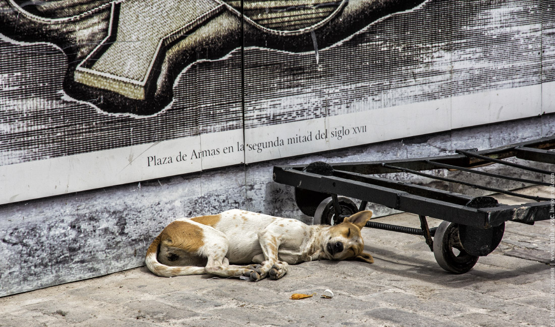 Собака в Гаване