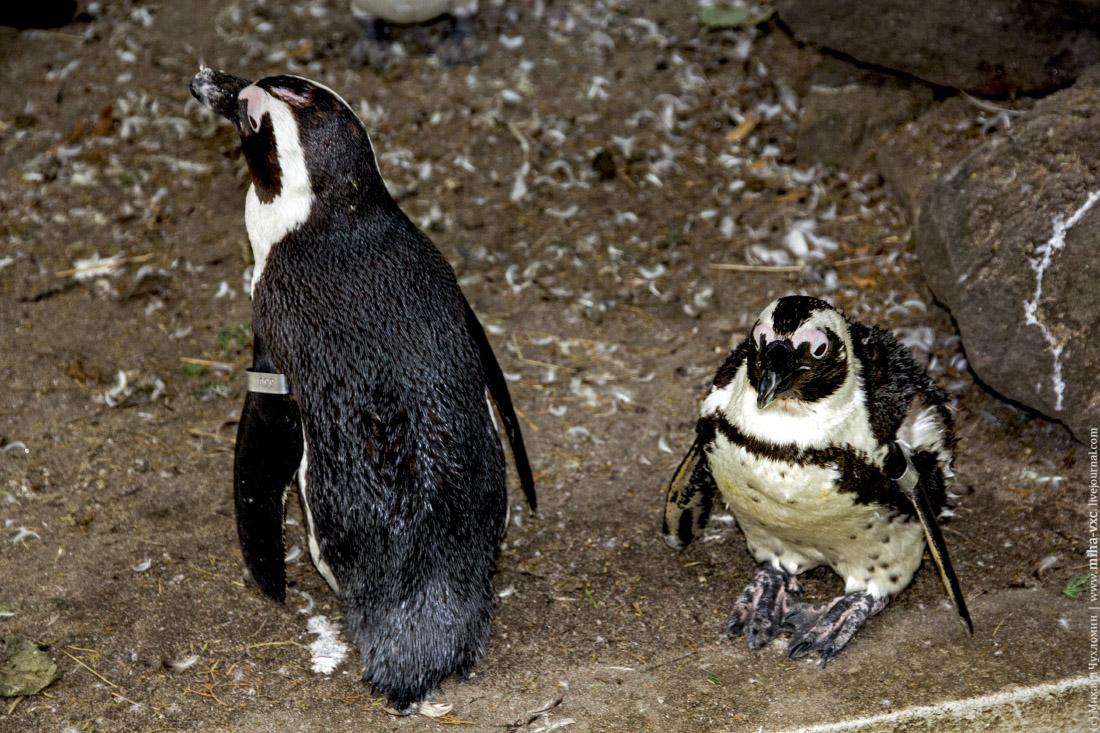 Суровый пингвинчик